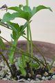 クリスマスローズの原種(H.ムルチフィダス)