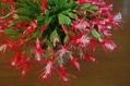 シャコバサボテン咲きました