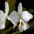 C. labiata f. alba 'Fernando'