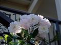 バラと最近買ったビオラ