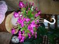 庭の様子とピンクのシャコバ
