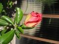 ハイビスカス 今年は71花