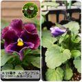 2021.01.27_シネラリアの開花🌼✨とパンジー・ビオラ