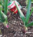 玉ねぎと葉ぼたん 三日月の菜園日記