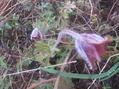 今頃オキナグサ開花?