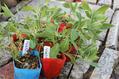 種蒔き苗を植えますよ