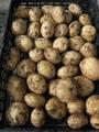 馬鈴薯収穫。