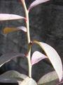 ブルーベリーの小さな芽