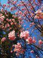 満開の河津桜🌸