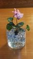 シクラメンの水栽培