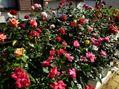 Grandpa's rose garden!     March 2.2021