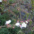 ピンクユキヤナギの開花