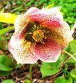 種こぼれで咲くクリスマスローズ