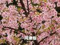 葉桜が始まった河津桜