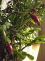 園芸作業と蕾の様子