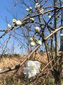 餅花のような枝垂れ桃