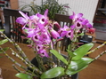 デンドロの開花
