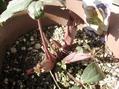 デンドロその後の花芽の様子