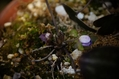 今朝の庭(雪割草)