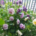 アントワネットさま お花が増えてきました〜💕