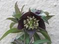 クロアチカスの花