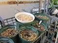 クリスマスローズ原種の新芽の野鳥食害対策!