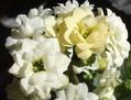 陽光を受けて白い花が美しい