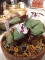 原種シクラメンコウム咲きました