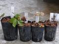 アトロ 現地採取種子の小苗
