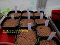 2013年春野菜のタネ播きの準備とタネ播き