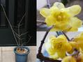 ロウバイの花の中の覗いて作業はかどらず