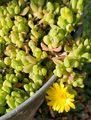 ヌビゲナムの花