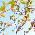 散歩道の花~ハナミズキ