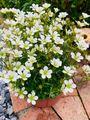 可愛い白い花・雲間草🎵