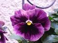寄植えの花