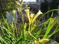 屋外で咲いています