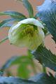 クリスマスローズの原種(H.ボッコネイ)