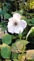 とうほく蘭とバラ展・①バラ(やっぱりね)