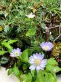 ミヤコワスレとよく似た花