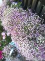 かすみ草❇️ジプシー❇️開花中④