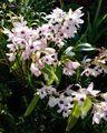 デンドロビウム!綺麗に開花しております。