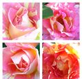 庭の薔薇 見事に魅せてくれます💝