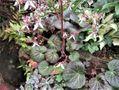 ホシザキユキノシタ(雪の下)の花