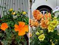 オレンジと黄色の花❤