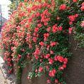 花便り・・・山手イタリア山庭園