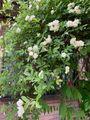 『白モッコウバラも咲き始め💠風任せ』