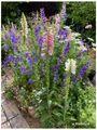 チドリソウの庭