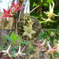 ウグイスカグラの花色と実色