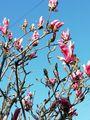 木蓮の花が寒さで縮こまる😂