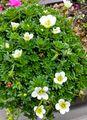 クモマグサ2度目の開花